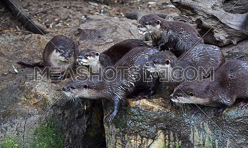 Close up portrait of several small river otters screaming and some looking away in zoo enclosure, high angle view