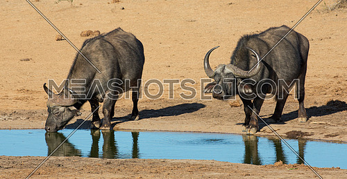 Two Cape Buffalo bulls quenching their thirst at a waterhole in Africa
