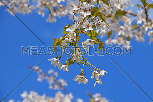 White cherry blossom sakura flowers with green leaves and fresh new buds over clear blue sky background