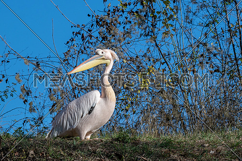 Pelecanus, onocrotalus, animal,  background, beach, beak, beautiful, beauty, big, bird, scene, black, blue, brown, close up, detail, everglades, eye, fauna, feather, head, isolated, lake, long, natural, nature, ocean, one, orange, ornithology, pelican, image, portrait, pink, plumage, post, profile, rare, sea, tropical, turkey, water, white, wild, yellow, zoo