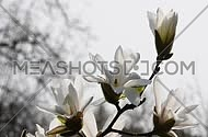 Four white magnolia open flowers and new buds tremble in the wind over background of white sky, side view, low angle, close up, Full HD 1080