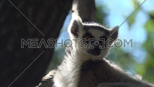 Scene of a ring tailed Lemur high up in a tree