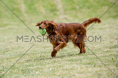Irish setter runs across the field,selective focus on the dog