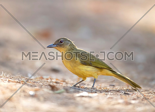 Close up of Yellow Bellied Greenbul (Chlorocichla flaviventris)
