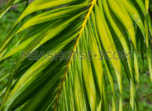Close up brightly lit palm tree leaves on branch, high angle view