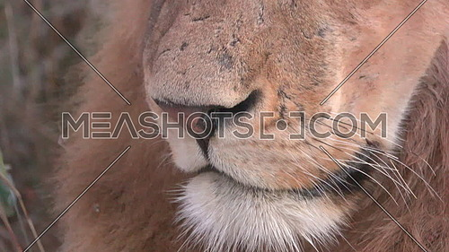 Close up look at lions mouth nose and whiskers