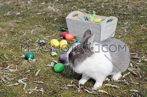 Dutch bunny near the multicolor Easter eggs