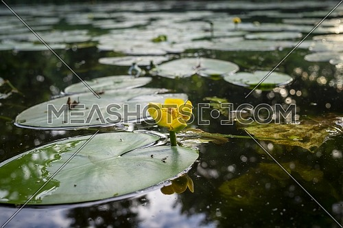 Yellow water lily with large green pad or floating leaf in a tranquil lake or pond with reflections in close up