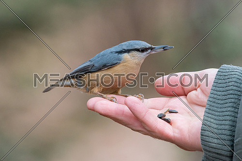 Wood nuthatch (Eurasian nuthatch) in the hand of an old man