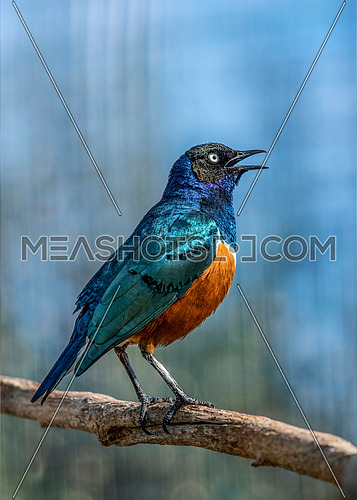The Superb Starling (Lamprotornis superbus) is a member of the starling family of birds. It was formerly known as Spreo superbus