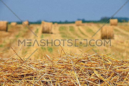 Yellow golden bales of hay straw in stubble field after harvesting season in agriculture, selective focus