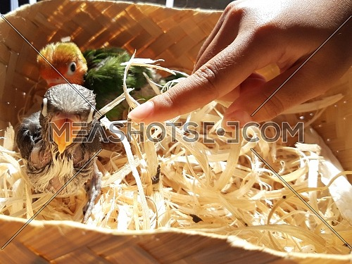 crooked baby birds in the nest approached hands to be invited to play