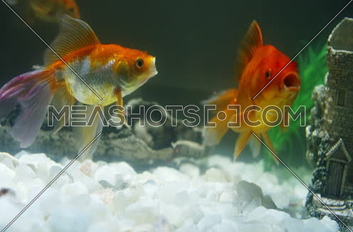 Golden Fish inside fishtank