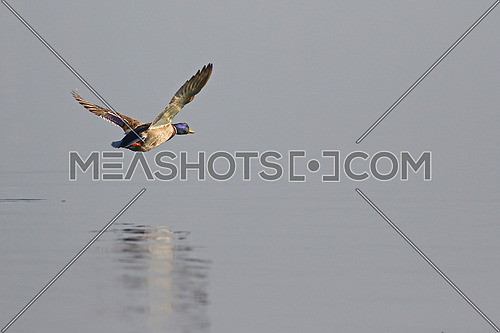 Low flying mallard duck over a smooth lake with reflections in the water
