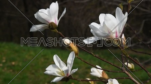 Three white magnolia flowers with new buds tremble in the wind over background green grass and trees, side view, close up, Full HD 1080