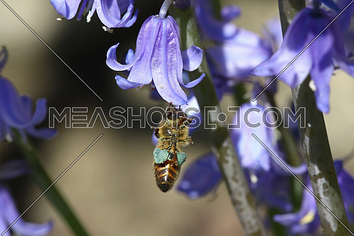 Honeybee hanging from little purple flowers carrying hearts of blue pollen