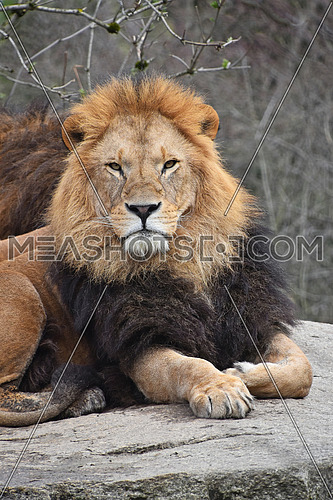 Close up portrait of cute male African lion with beautiful mane, laying relaxed on the rock and looking at camera, low angle view