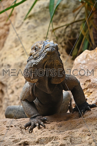 Close up front portrait of male rhinoceros iguana (Cyclura cornuta) resting on rocks and looking at camera, low angle view