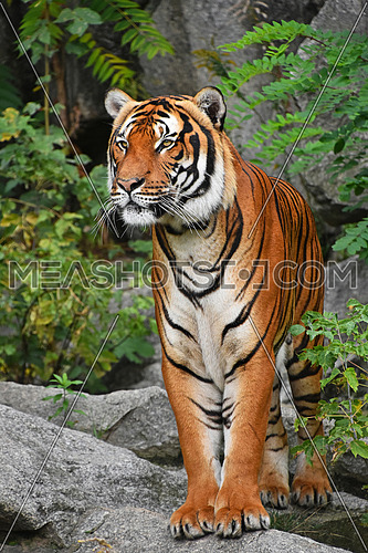 Close up full length front portrait of one young Indochinese tiger standing on the rock and looking at camera, low angle view