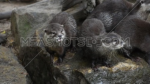 Close up view of several small river otters screaming and yawning, looking at camera, in zoo enclosure, high angle view