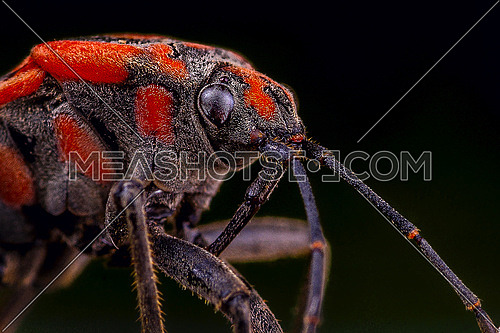 Red Insect on a black background