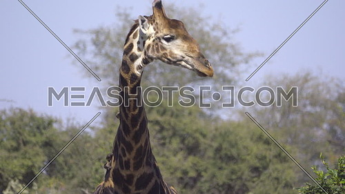 Scene of a bull Giraffe licking lips after drinking water