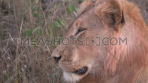 Side view of a lions head