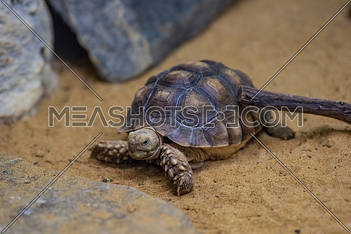 African spurred tortoise (Centrochelys sulcata),inhabits the southern edge of the Sahara desert, in Africa.