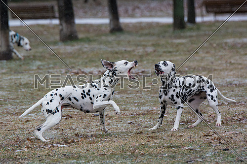 Two young beautiful Dalmatian dogs running. Selective focus