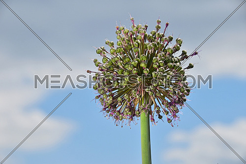 One green onion allium leek flower head with purple pink blossom over background of cloudy blue sky, low angle view, close up