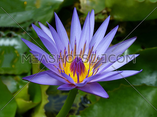 Close up blooming water lily or lotus flower