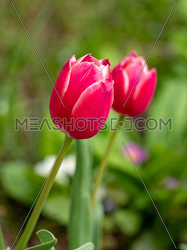 A single tulip isolated from the garden behind it
