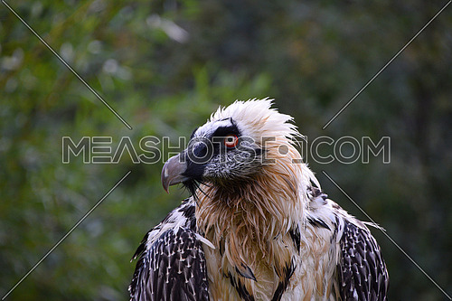 Close up portrait of bearded vulture (Gypaetus barbatus) looking at camera, low angle, front view
