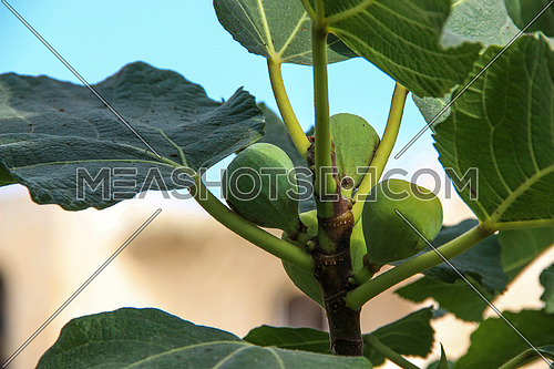 green fig fruit on a tree