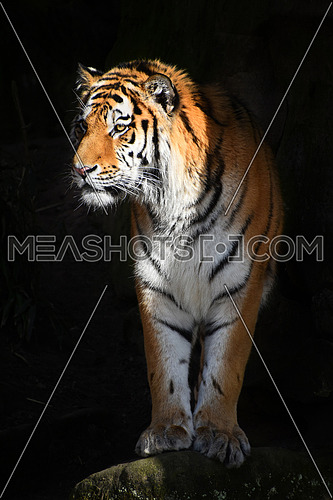 One Siberian tiger (Amur tiger, Panthera tigris altaica) steps out to light from dark shadow and looks aside of camera, low angle view