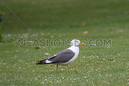 Close up view of Lesser black-backed gull (Larus fuscus)