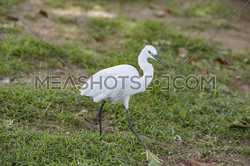 Little white Egret, Egretta garzetta, white heron walking