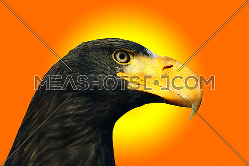 Steller's sea eagle, Haliaeetus pelagicus,portrait against a sunset colored background