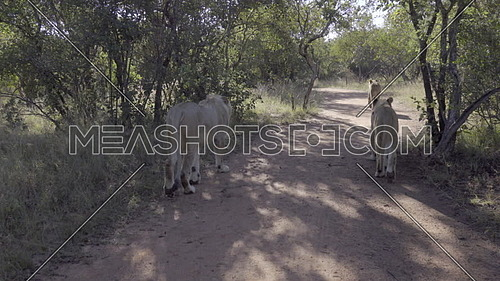 First person point of view of a group of lions walking a path