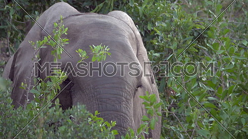 View of a young elephant grazing on leaves
