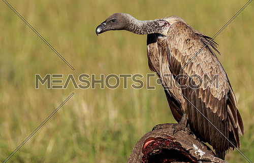 A white backed vulture standing on a body of a dead elephant that was hunted by a pack of lions during night at Masai Mara National Reserve, Kenya