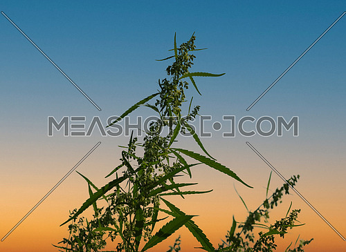 Close up fresh green cannabis or hemp in bloom over blue and orange sunset sky, leaves, buds and flowers, low angle view