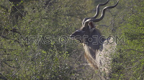 View of a bull Kudu turning to profile