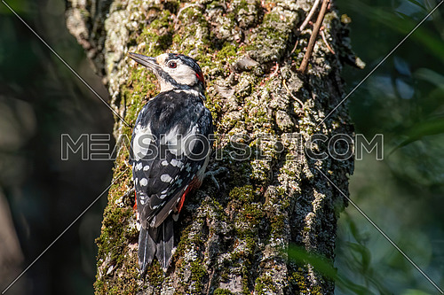 Middle Spotted Woodpecker - Dendrocopos medius sitting on the tree trunk