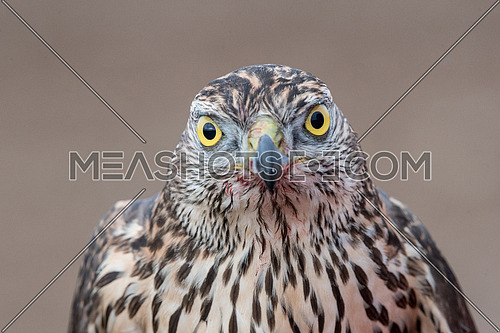Falcon with a bloody beak after a meal. Bird of prey