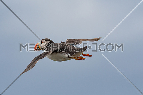Atlantic Puffin (Fratercula arctica) in flight, Scotland, UK.