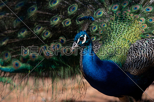 Indian peafowl or Blue peafowl - Pavo cristatus - a large and brightly colored bird is a species of peafowl native to South Asia.