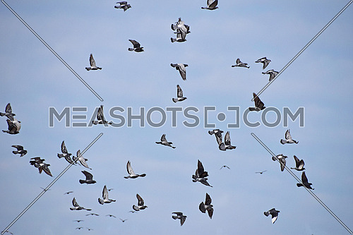 Big flock of many pigeon birds flying high and hovering in clear blue sky, low angle view