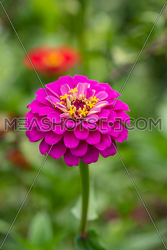 Close up of Zinnia flower (Zinnia violacea) with green background. Zinnia flower in the tropical garden is genus of sunflower family