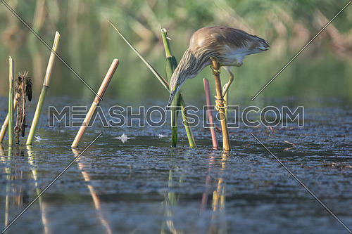 Squacco Heron bird holding onto a bamboo stick over the water